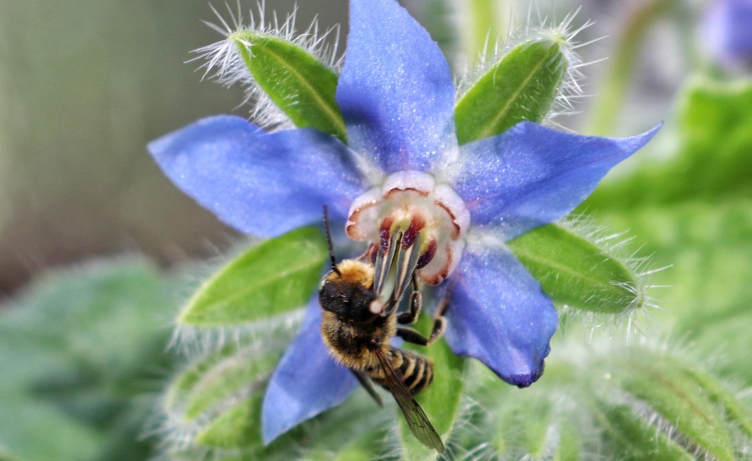 A leafcutter bee rests on borage in the Southall greenhouse.