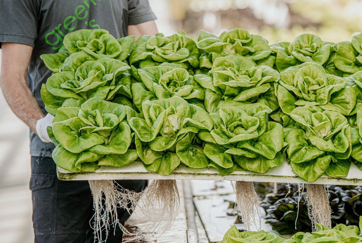 Southall's hydroponic greenhouse produces 400 pounds of lettuces each week.